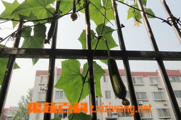 果蔬百科阳台怎么种丝瓜