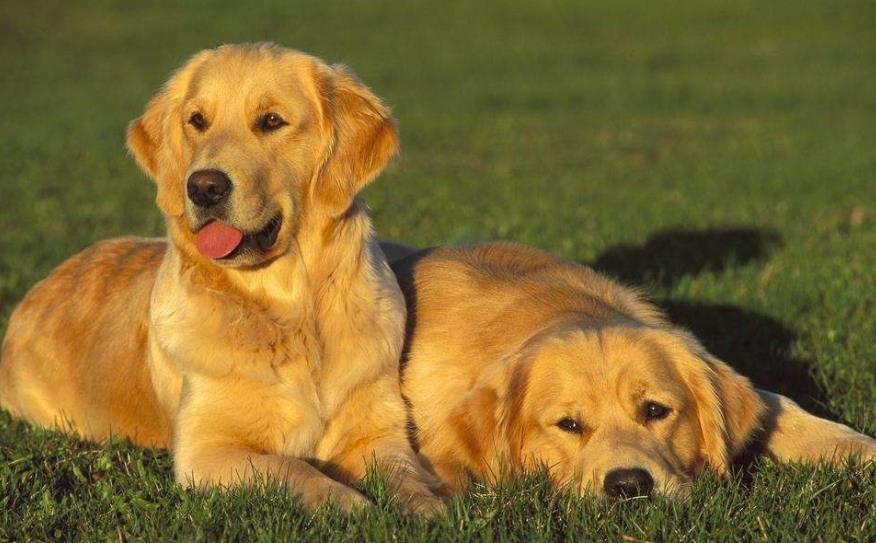 适合家养的大型犬有哪些?适合小区养的大型犬